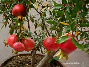 dwarf pomegranate fruit trees