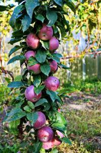 columnar fruit trees