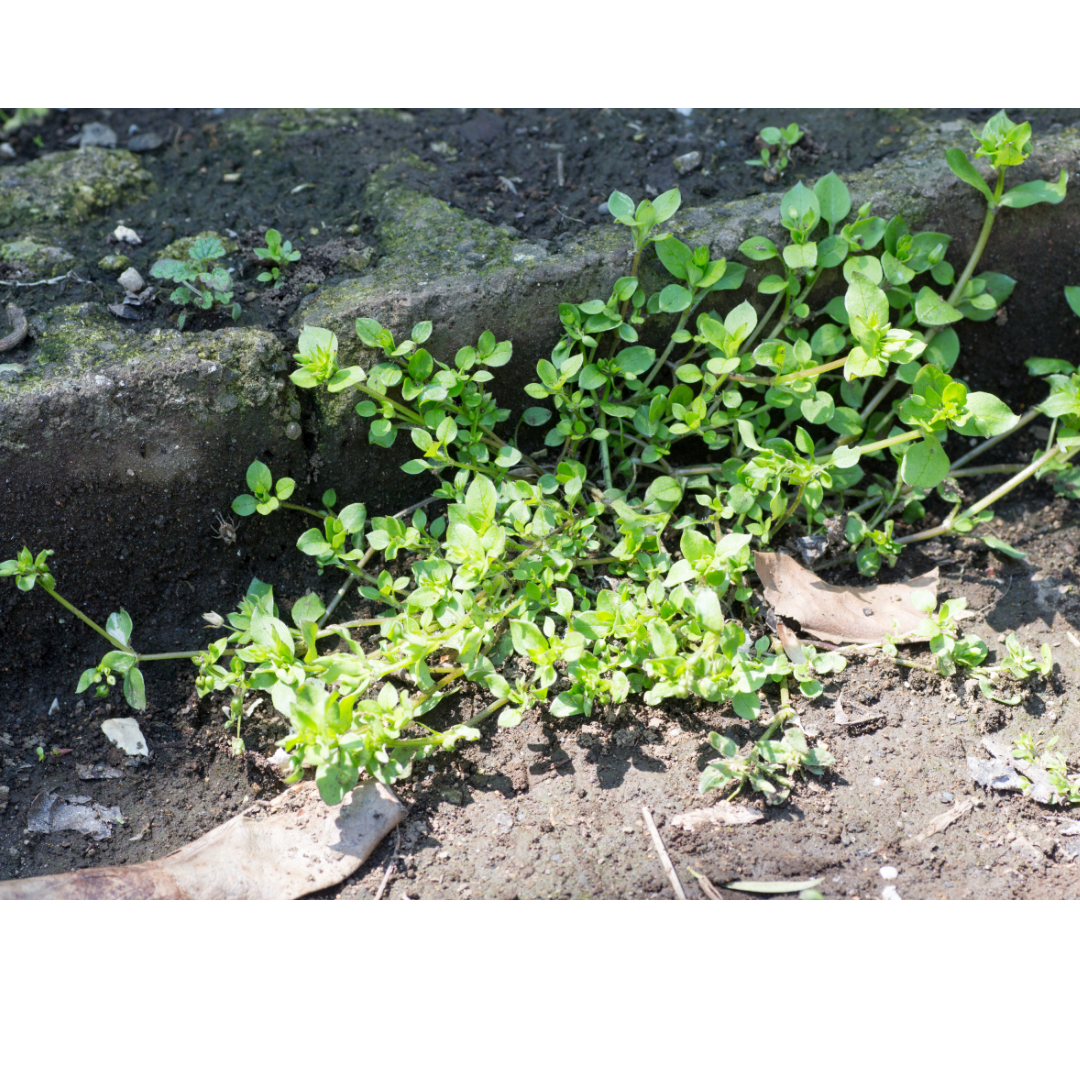 observe chickweed