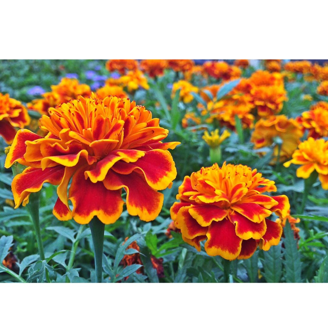 observe marigolds