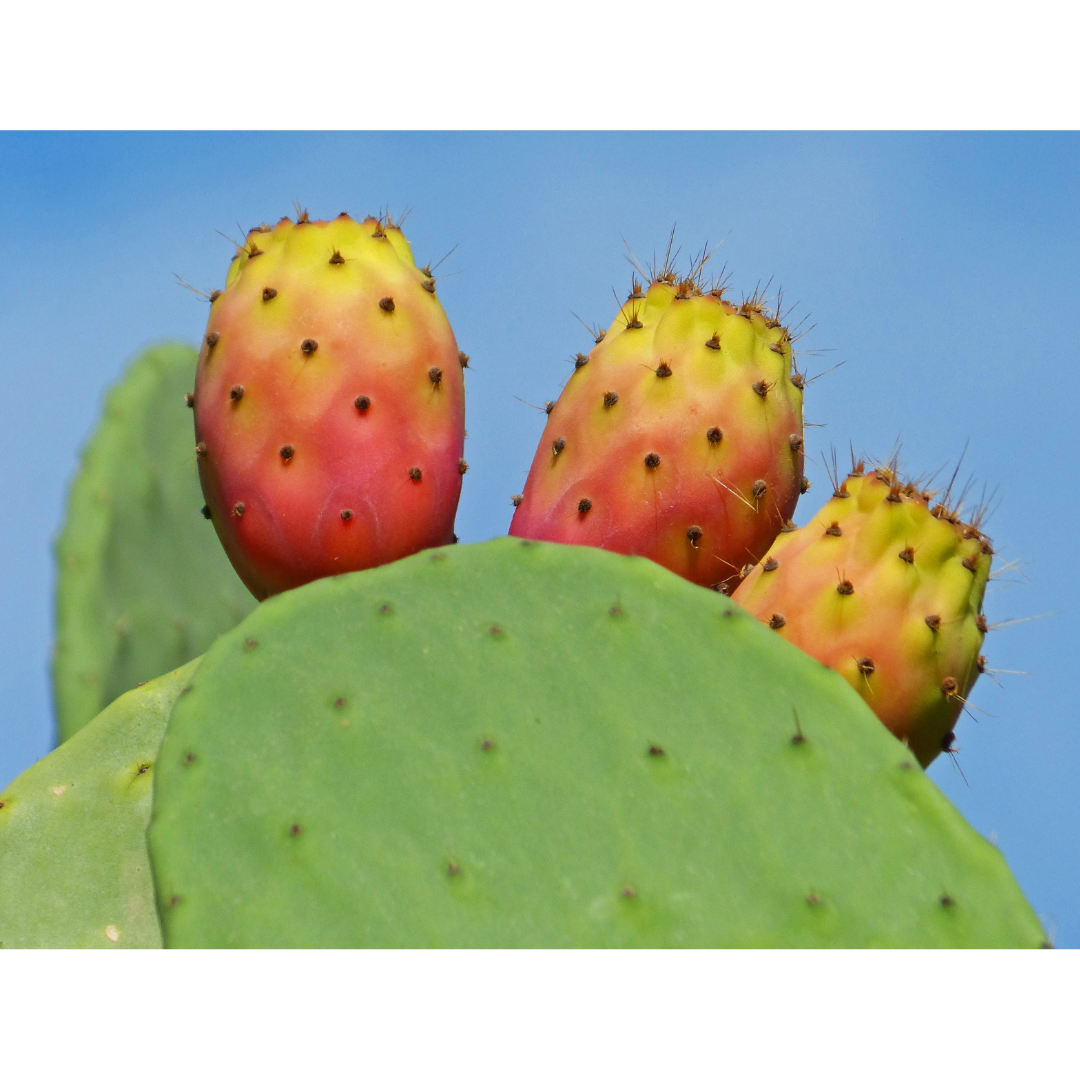 observe prickly pear