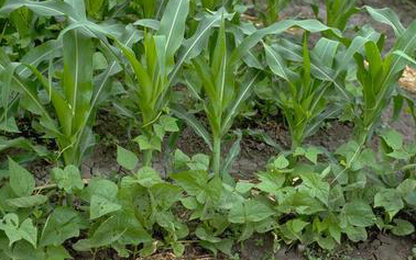 Corn and bean rows