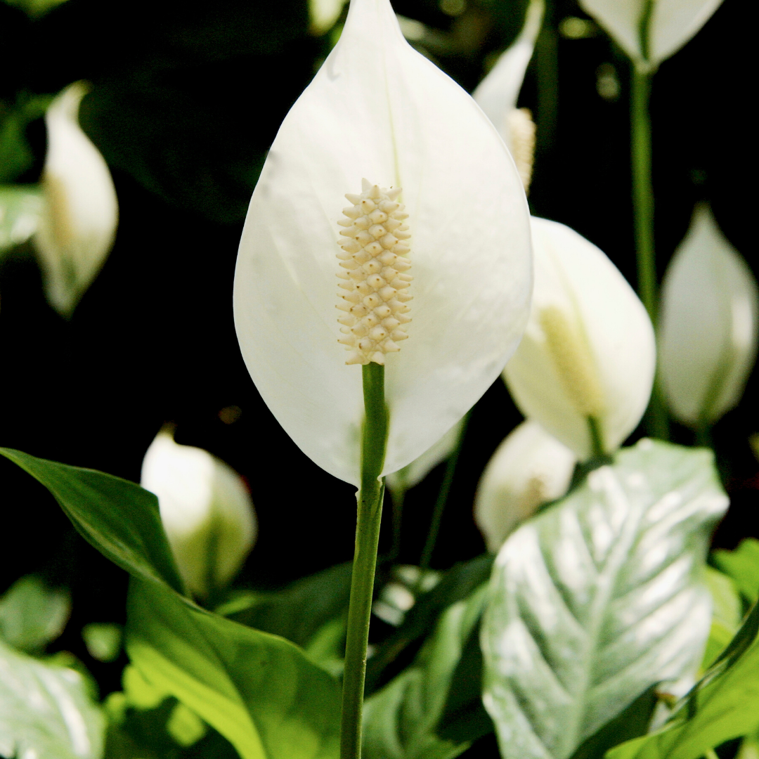 indoor gardening peace lily