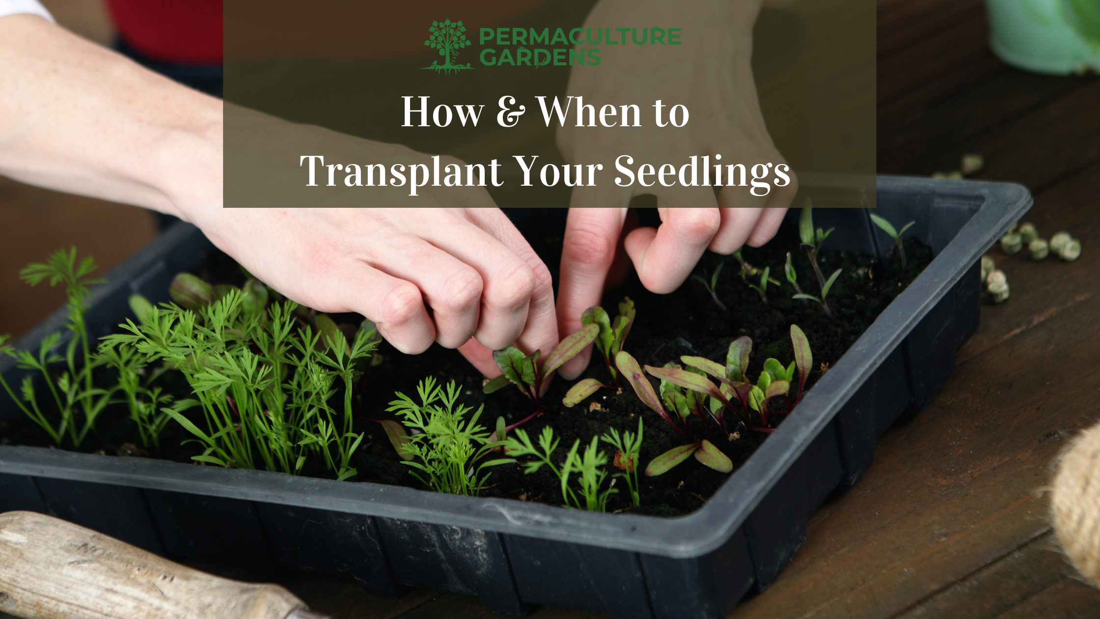 """Featured image for """"How and When to Transplant Seedlings: 6 Easy Steps to Transplanting Success"""""""