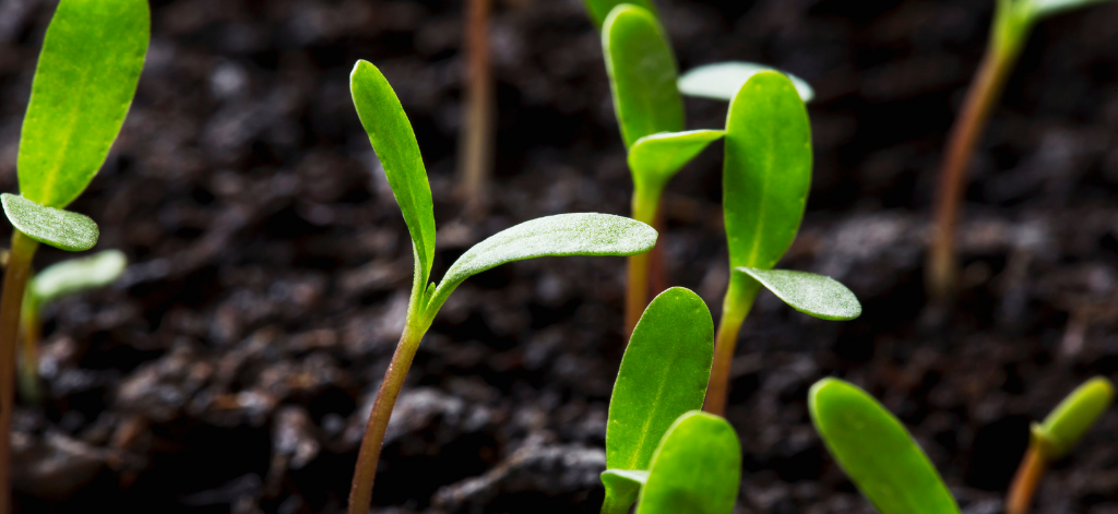 how and when to transplant seedlings